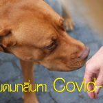 สุนัขดมกลิ่นหา covid-19